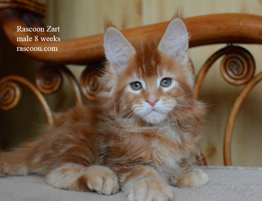 Rascoon Zart 8 weeks