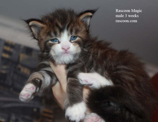 Rascoon Magic male 3 weeks