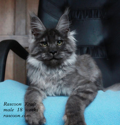 Rascoon Kraft male 18 weeks