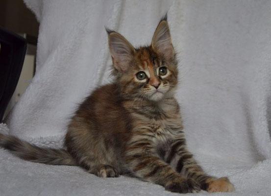 Rascoon Cezaria female f23 2 months