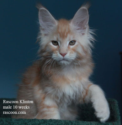 Rascoon Klinton male 10 weeks