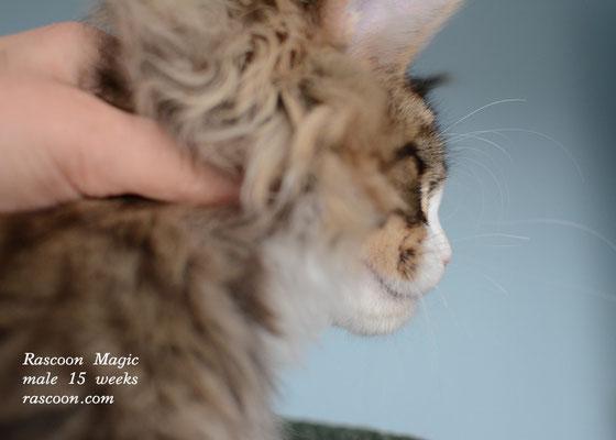 Rascoon Magic male 15 weeks