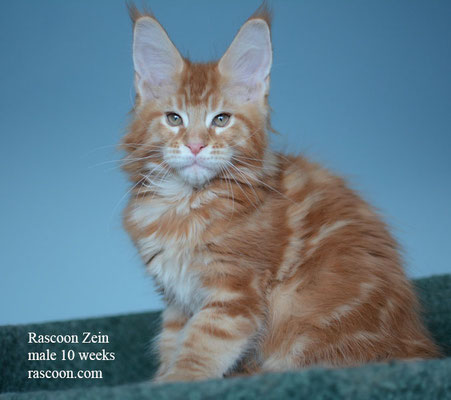 Rascoon Zein male 10 weeks