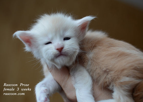 Rascoon Prose female 3 weeks
