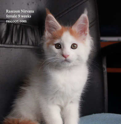 Rascoon Nirvana female 9 weeks