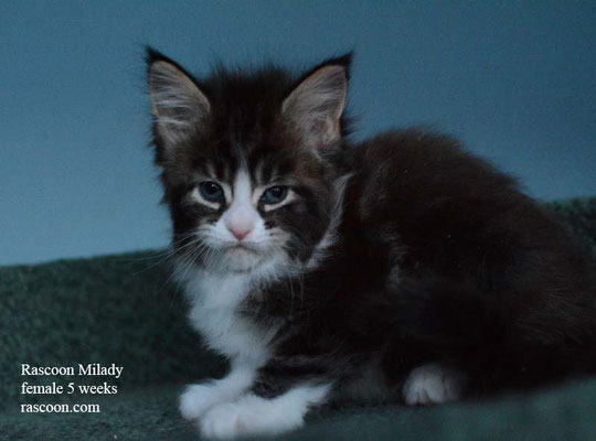 Rascoon Milady female 5 weeks