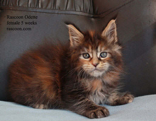 Rascoon Odette female 5 weeks