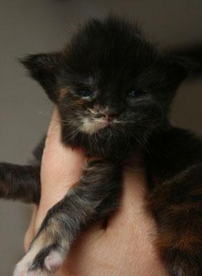 Rascoon Cera кошка / female черная солидная черепаха MCO f 2 недели