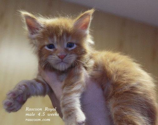 Rascoon Royal male 4.5 weeks