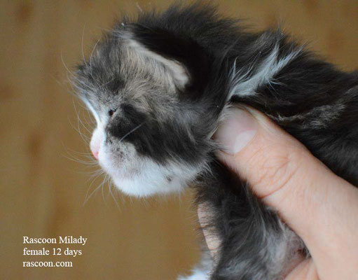Rascoon Milady female 12 days