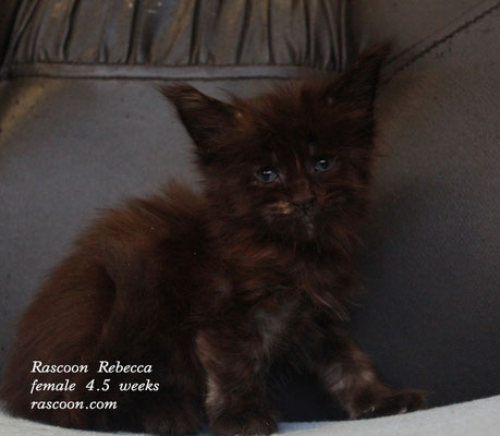 Rascoon Rebecca female 4.5 weeks