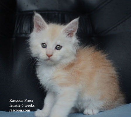 Rascoon Prose female 6 weeks
