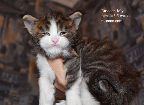 Rascoon Joly female 3.5 weeks