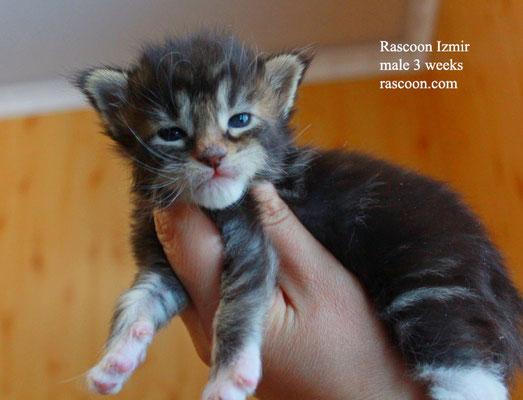 Rascoon Izmir male 3 weeks