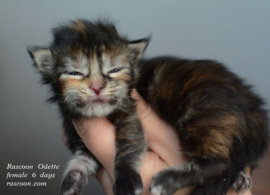 Rascoon Odette female 6 days