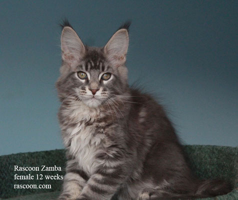 Rascoon Zamba female 12 weeks