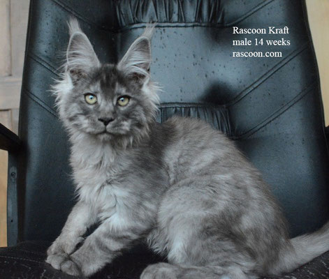 Rascoon Kraft male 14 weeks