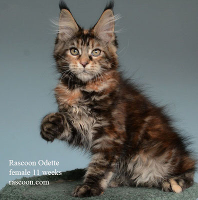 Rascoon Odette female 11 weeks
