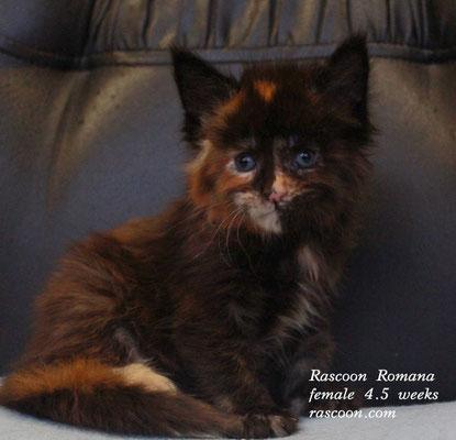 Rascoon Romana  female 4.5 weeks
