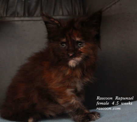 Rascoon Rapunzel female 4.5 weeks