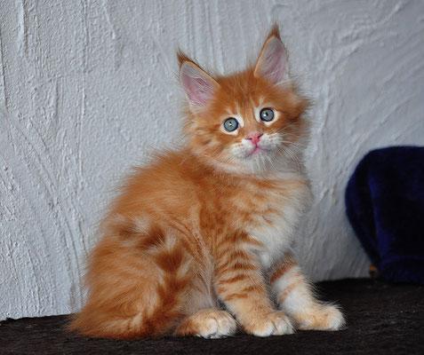 Rascoon Hobbit male d 23 6 weeks