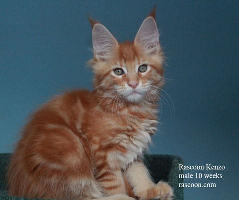 Rascoon Kenzo male 10 weeks