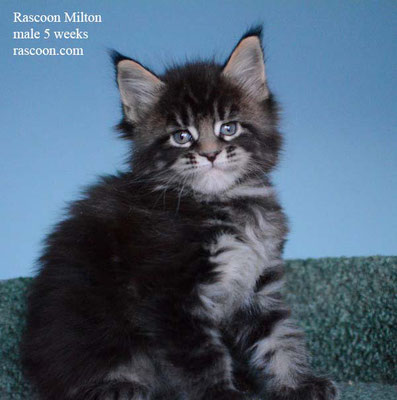 Rascoon Milton male 5 weeks