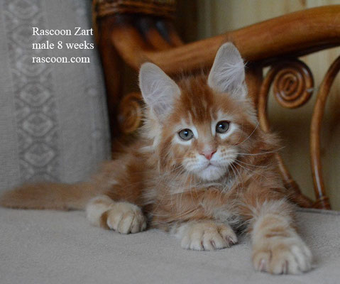 Rascoon Zart 8 weeks