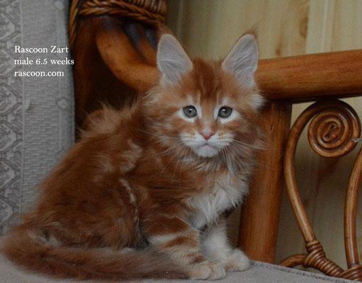 Rascoon Zart male 6.5 weeks