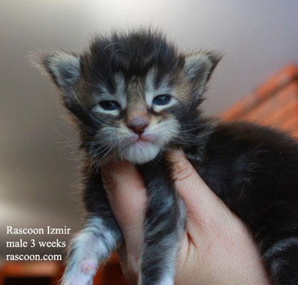 Rascoon Izmir male 3 weeks