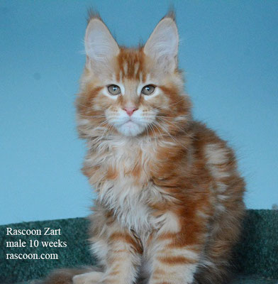Rascoon Zart male 10 weeks