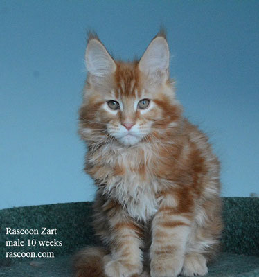 Rascoon Zart male 10 weeks