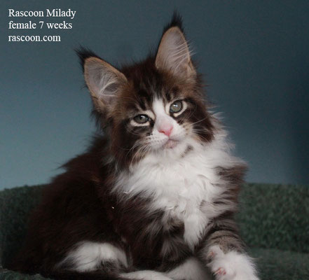 Rascoon Milady female 7 weeks