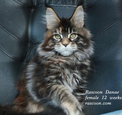 Rascoon Danae female 12 weeks