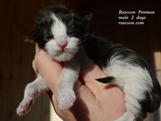 Rascoon Penman male 2 days