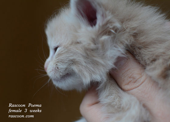 Rascoon Poema female 3 weeks