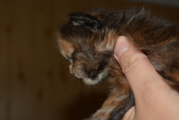 Rascoon Daisy female 13 days