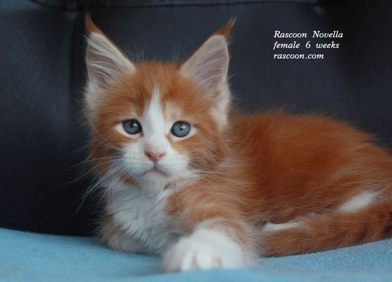 Rascoon Novella female 6 weeks