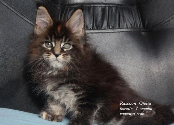 Rascoon Ofelia female 7 weeks