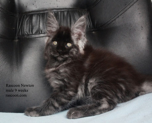 Rascoon Newton male 9 weeks