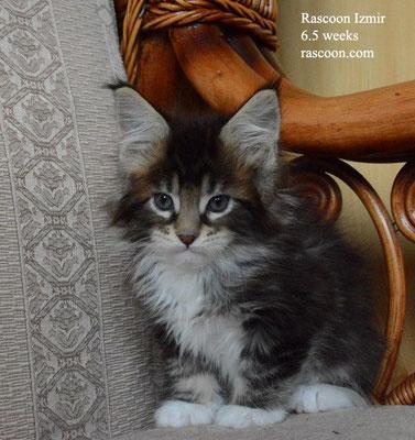 Rascoon Izmir 6.5 weeks