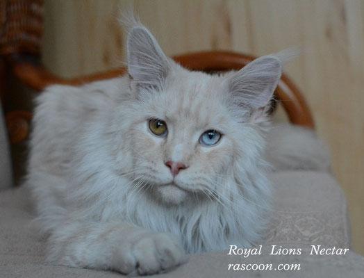 Royal Lions Nectar