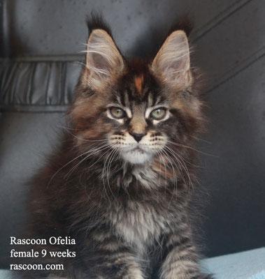 Rascoon Ofelia female 9 weeks