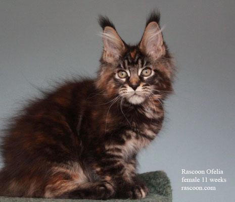 Rascoon Ofelia female 11 weeks