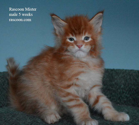 Rascoon Mister male 5 weeks