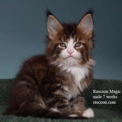 Rascoon Magic male 7 weeks