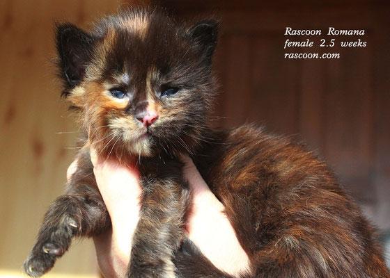 Rascoon Romana female 2.5 weeks
