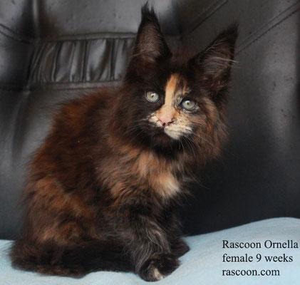 Rascoon Ornella female 9 weeks