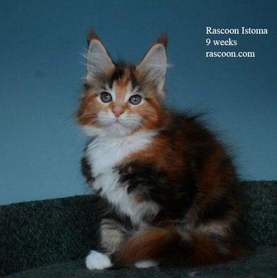Rascoon Istoma 9 weeks