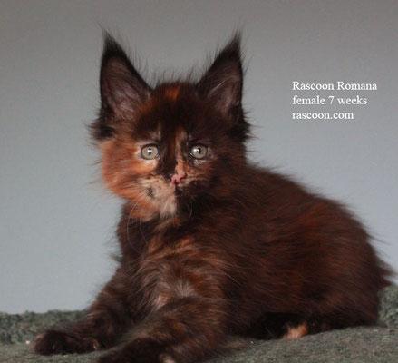 Rascoon Romana female 7 weeks